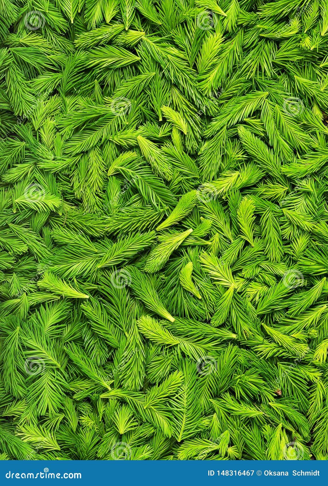 Verse geplukte groene nette spruiten