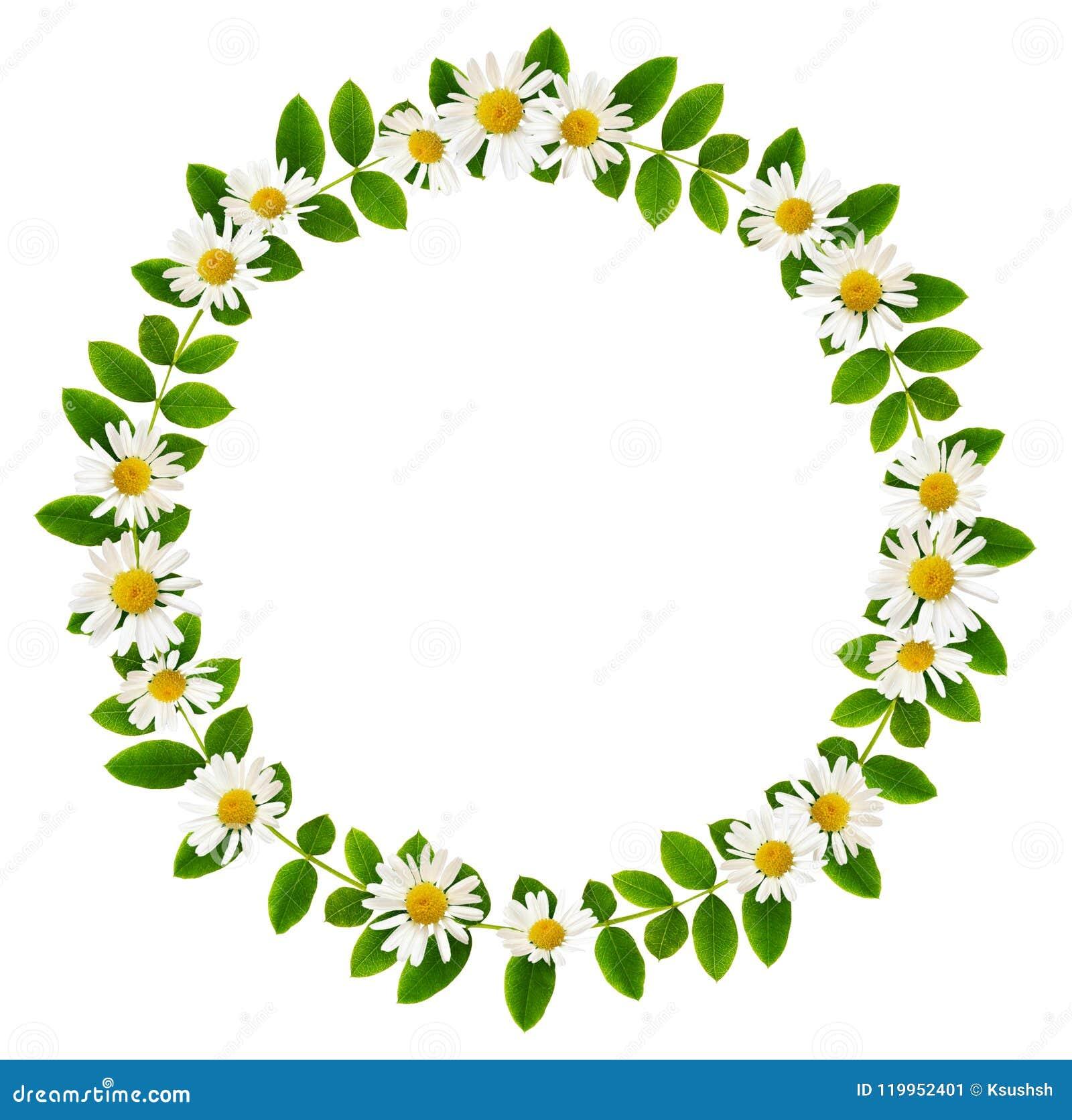 Verse groene bladeren van Siberische peashrub en madeliefjebloemen in r