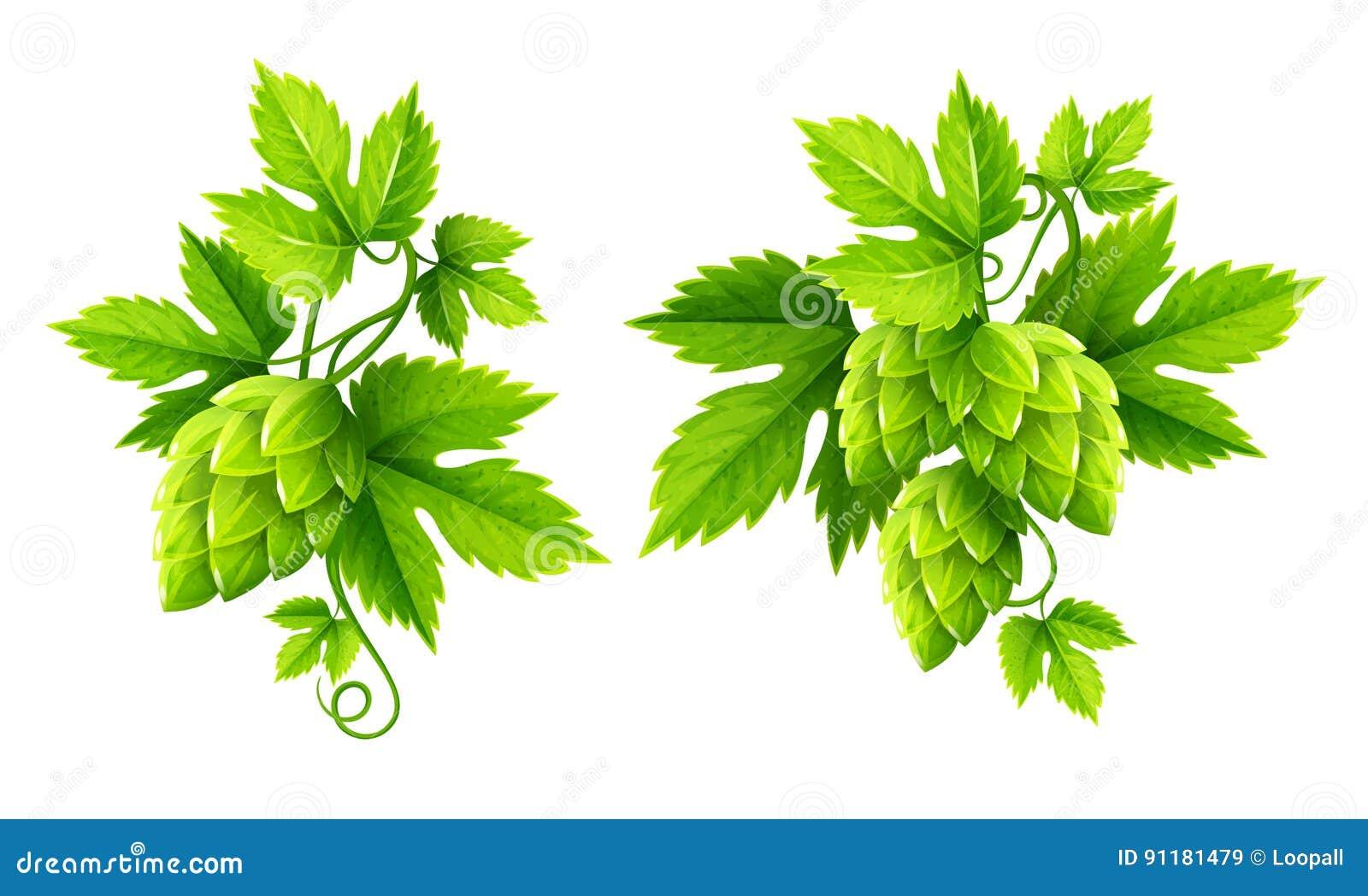 Verse hopinstallaties met groene bladerenvector
