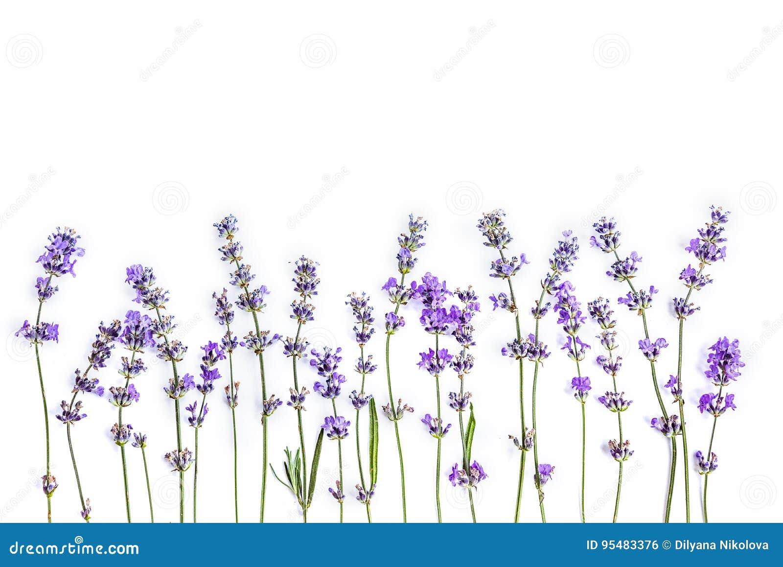 Verse lavendelbloemen op een witte achtergrond De spot van lavendelbloemen omhoog De ruimte van het exemplaar