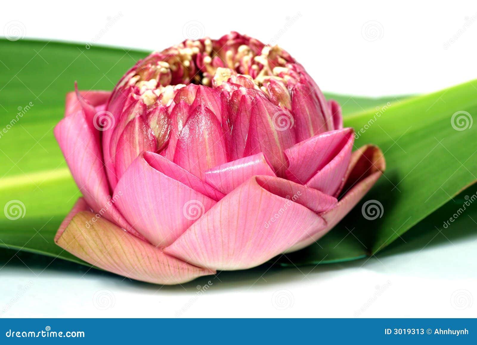 Verse lotusbloem