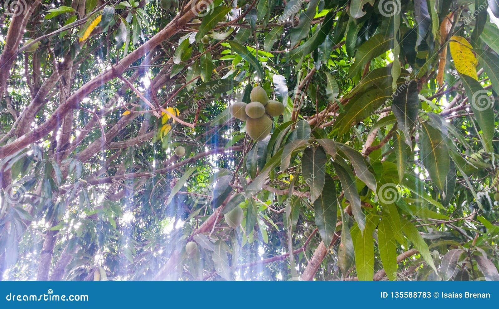 Verse mango s op de boom