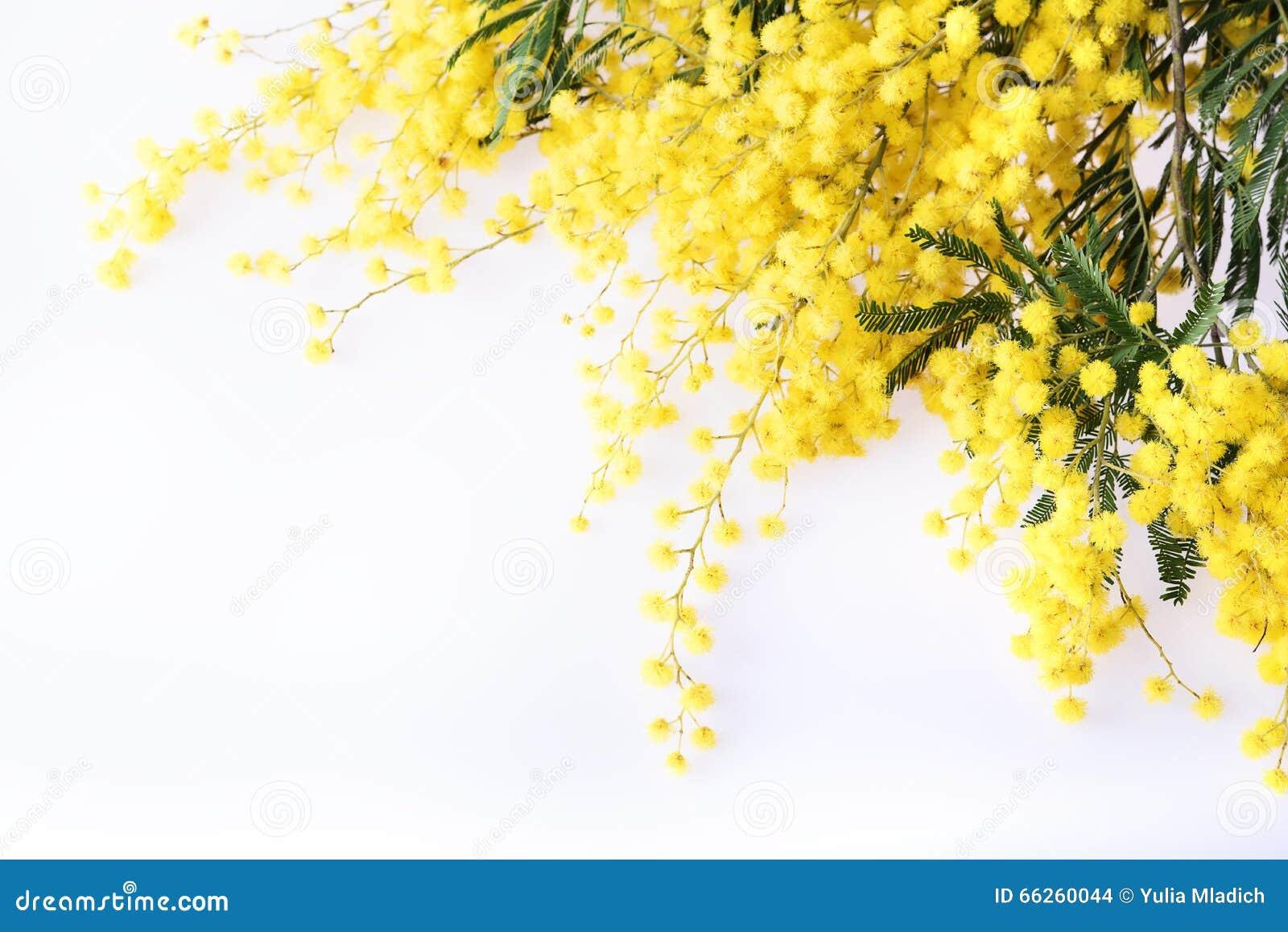 Verse mimosabloem op wit