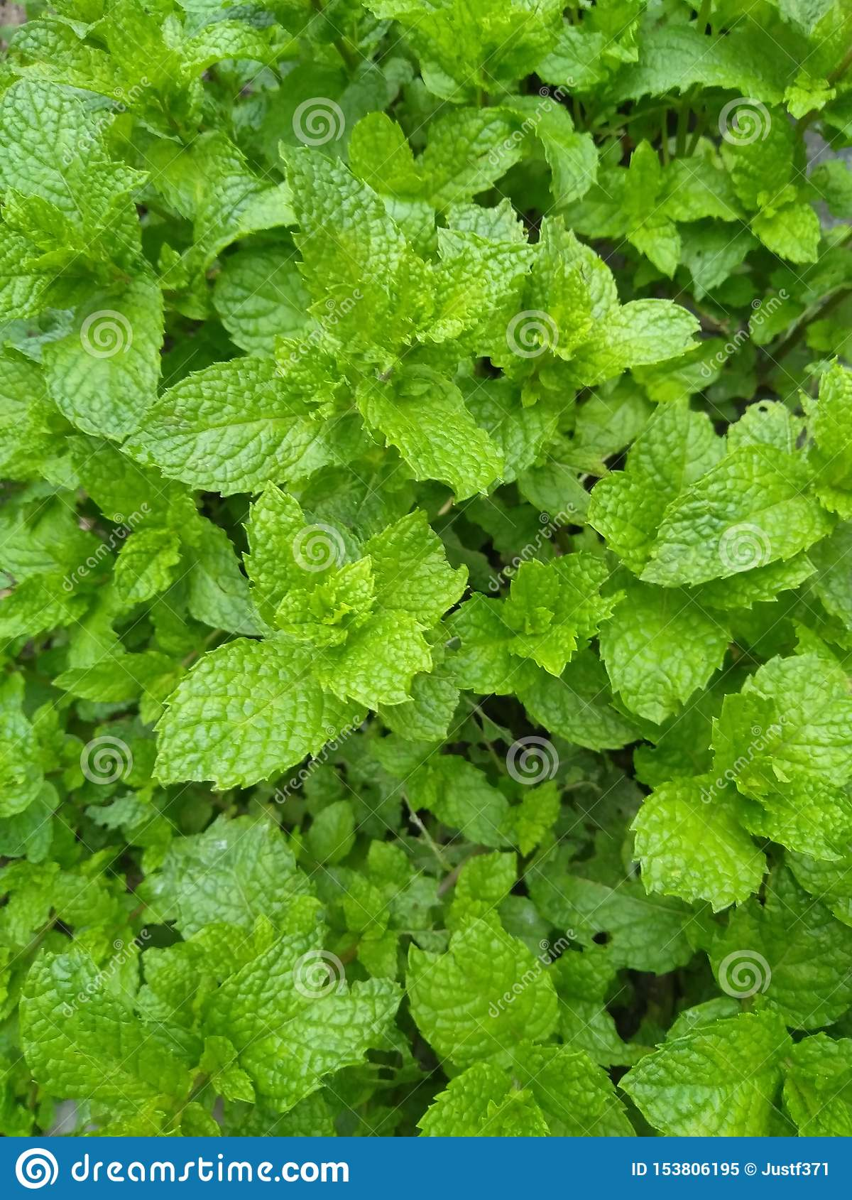 Verse pepermuntbladeren in de tuin
