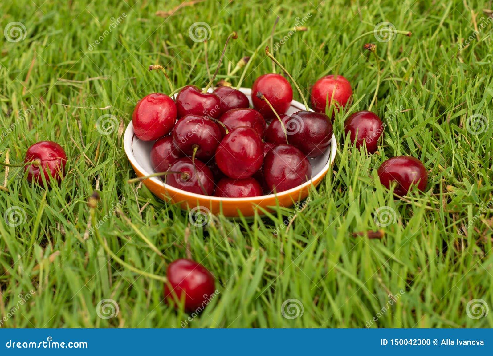Verse rijpe rode zoete kersen in een plaat op groen gras Zoete kersenvruchten in een tuin in zomer regendruppels Macro