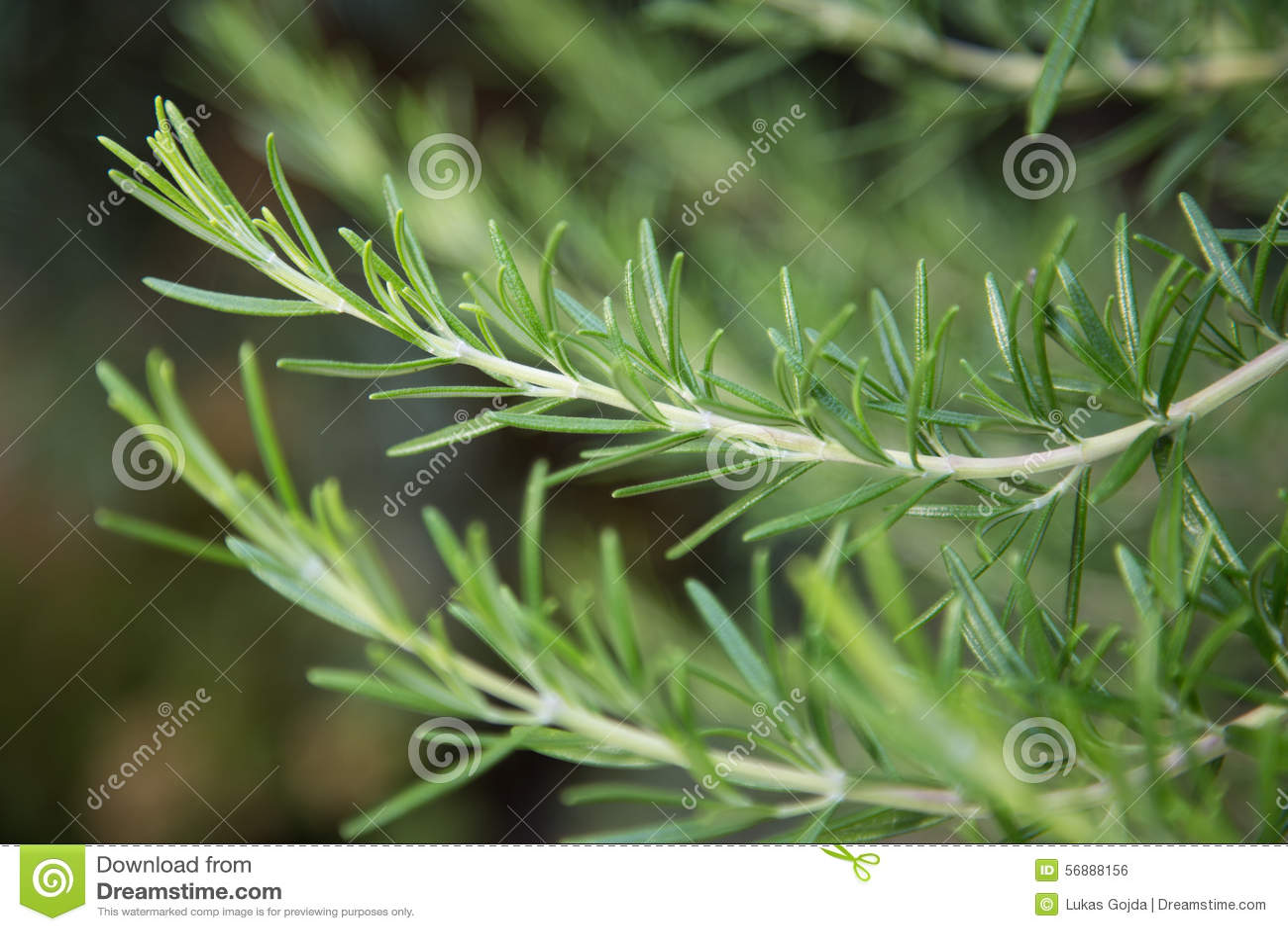 Verse Rosemary Herb