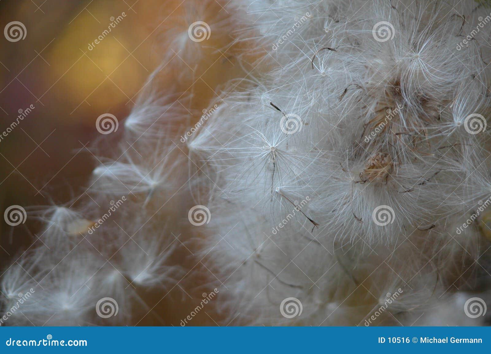 Versione dei semi