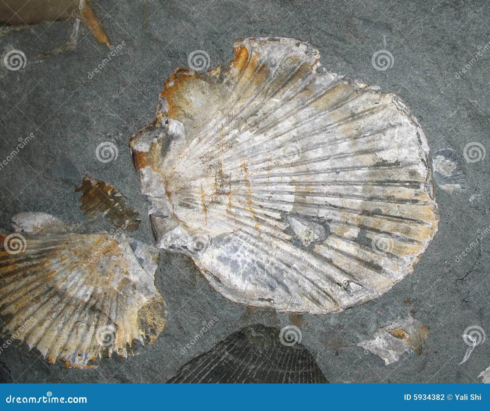 Verstarde Shells