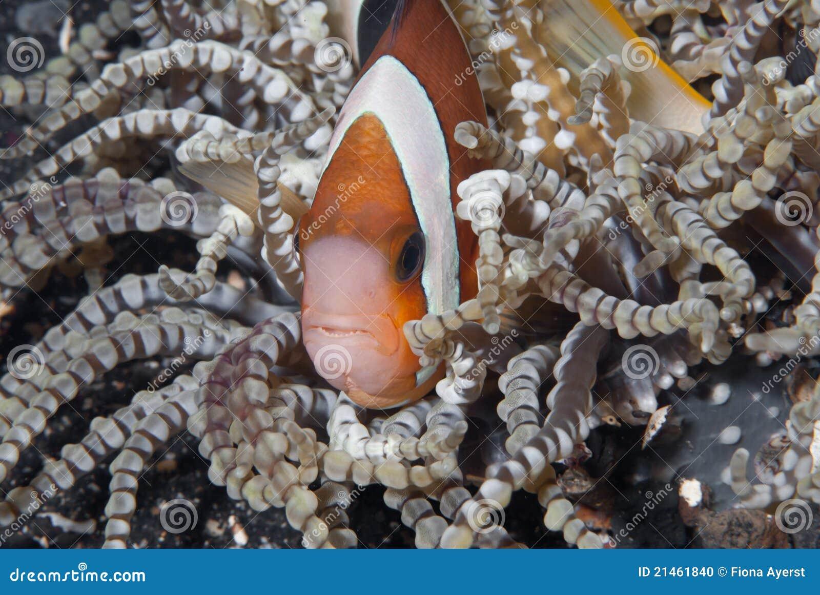 Versteckendes clownfish