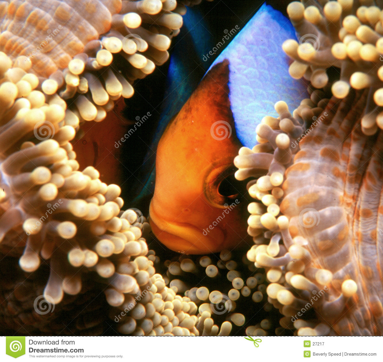 Versteckendes Nemo