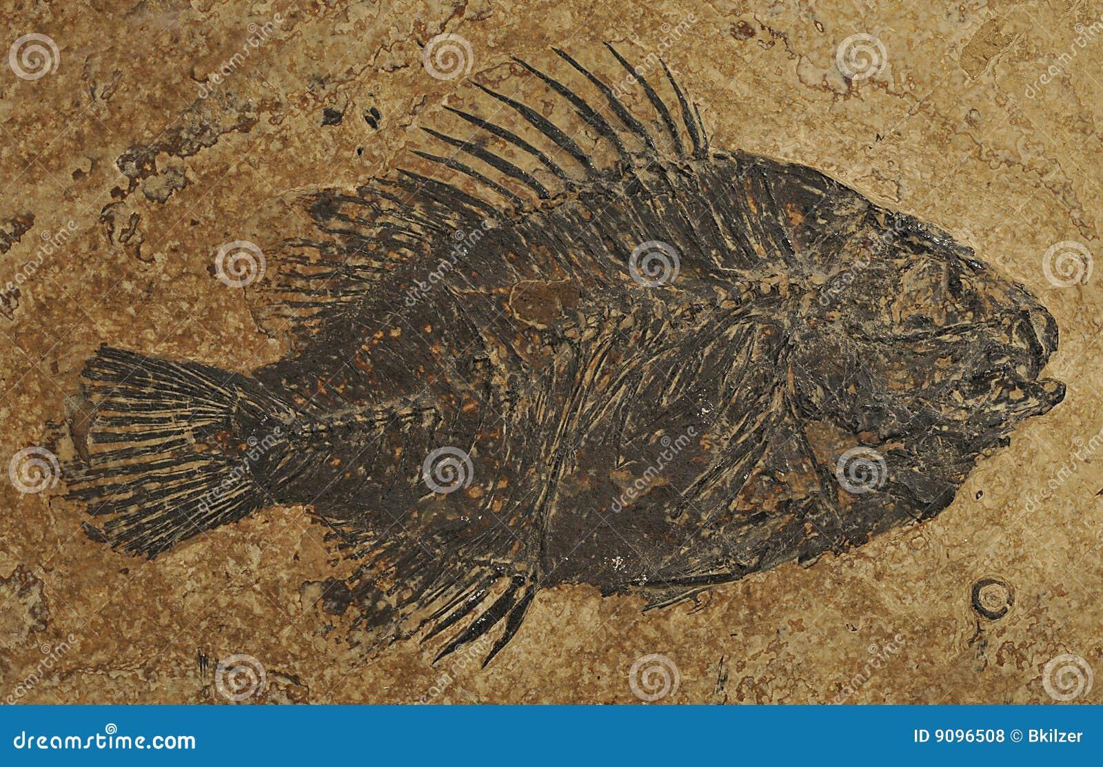 Versteinerte Fische - Priscacara