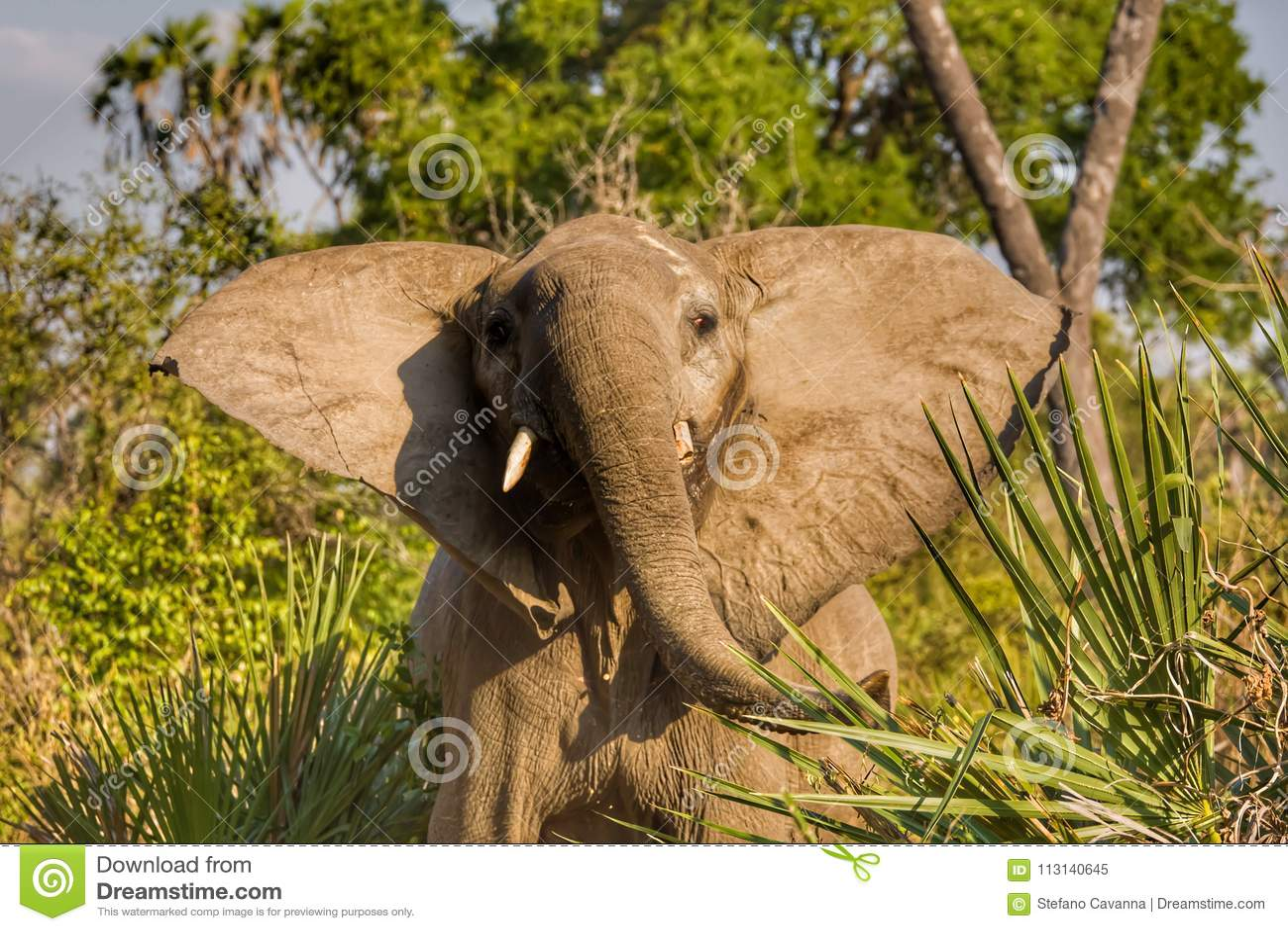 Verstoorde Olifant in het Nationale Park van Ruaha, Tanzania