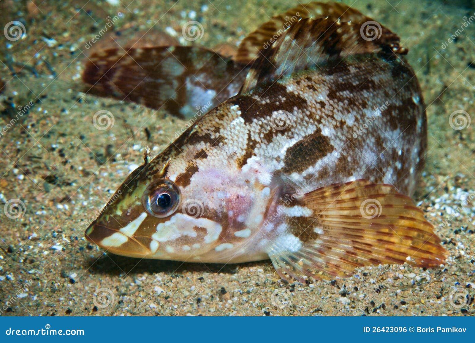 Vert-poissons de l Alaska dans l eau de la mer du Japon