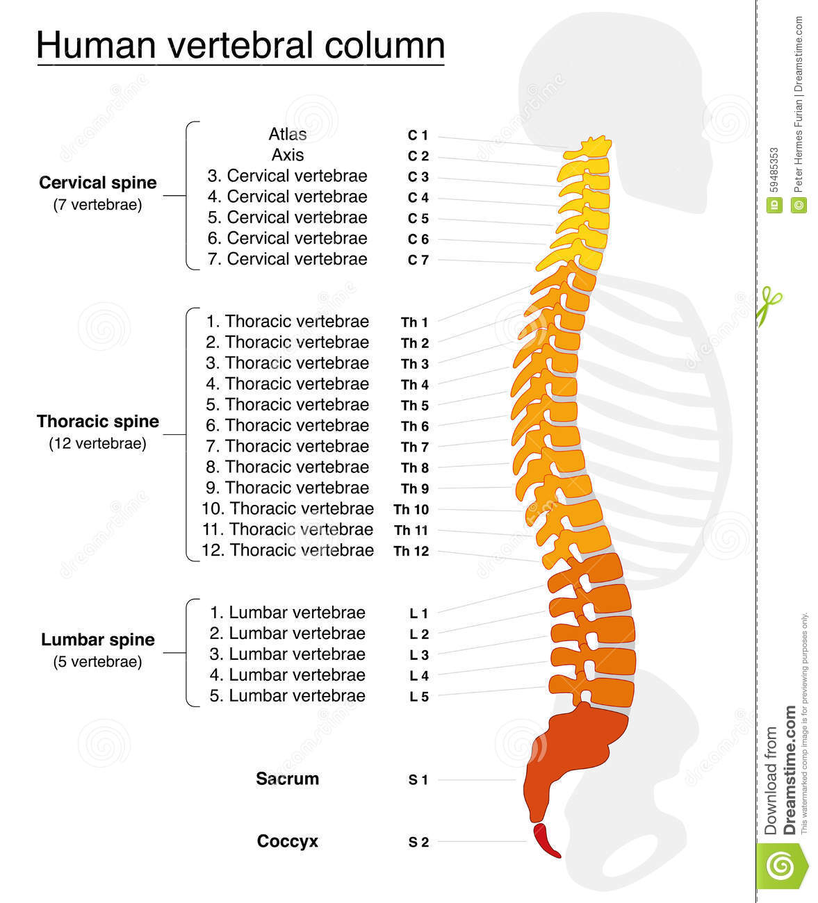 Vertebral Column Names Spine Stock Vector Illustration Of Health