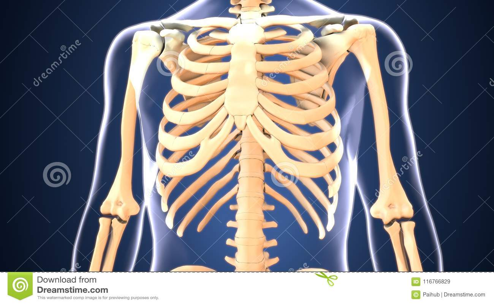 3d Illustration Of Skeleton Ribs Bone Anatomy Stock Illustration ...