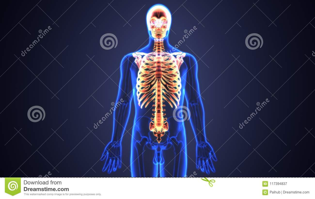 3d Illustration Of Spinal Cord And Ribs A Part Of Human Skeleton