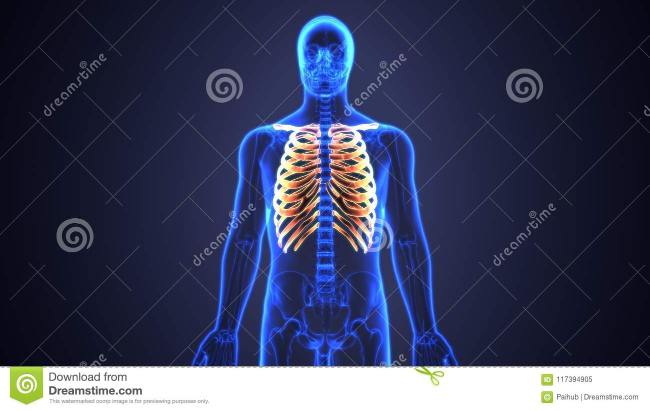 3d Illustration Of Human Body Ribs Cage Anatomy Stock Illustration ...
