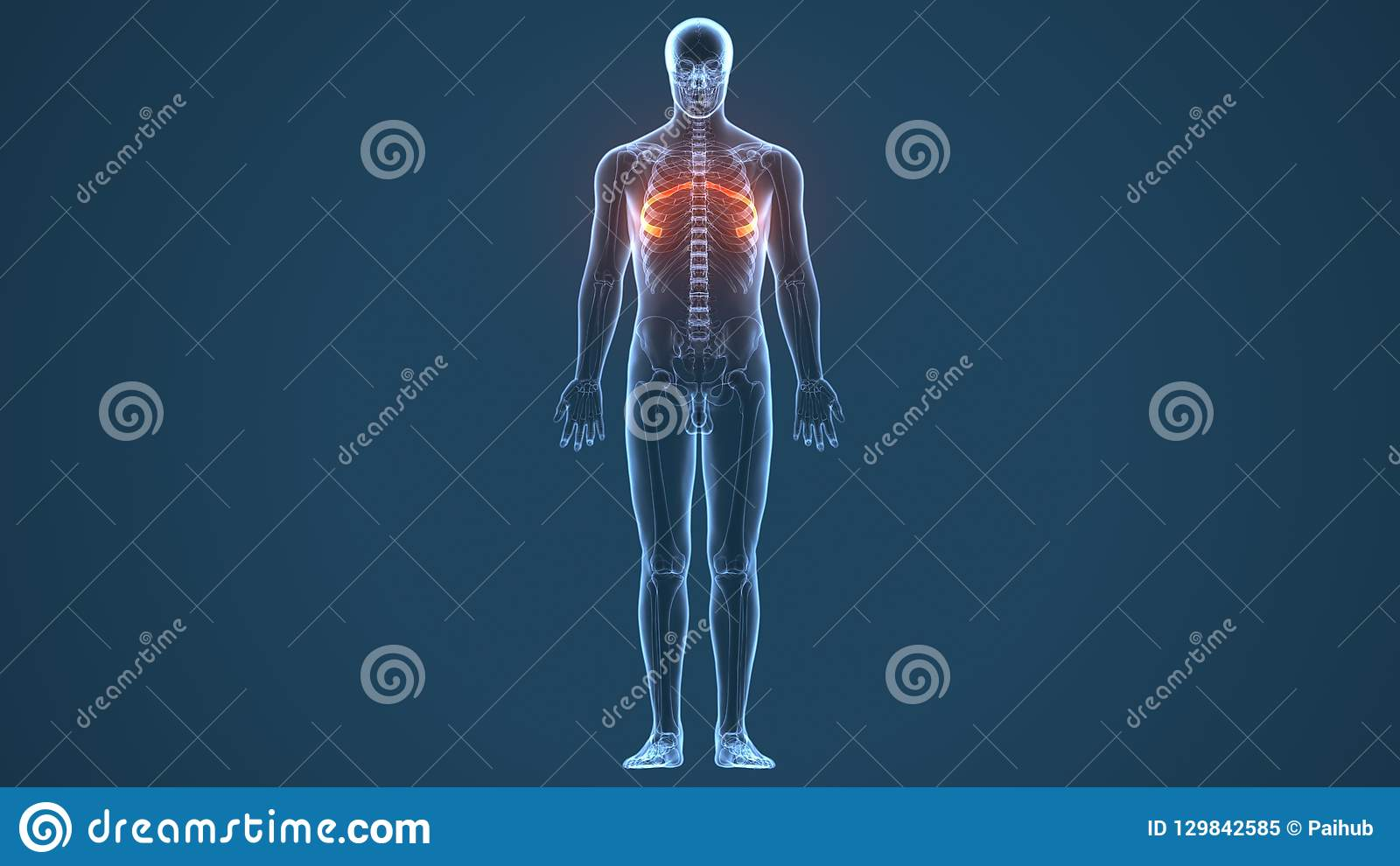 3d Illustration Of Human Body Ribs Cage Anatomy Stock Illustration