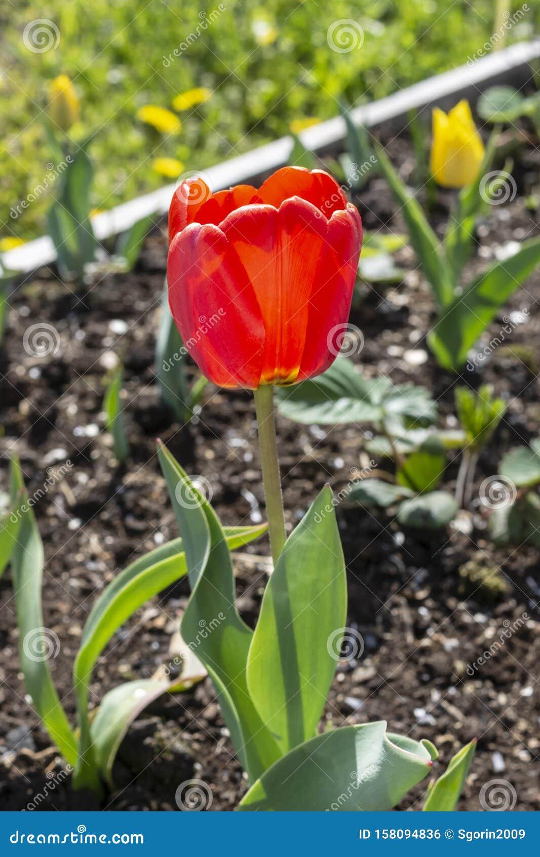 Nice Red Tulip Flower Growing In Garden Bed Ground Stock Photo