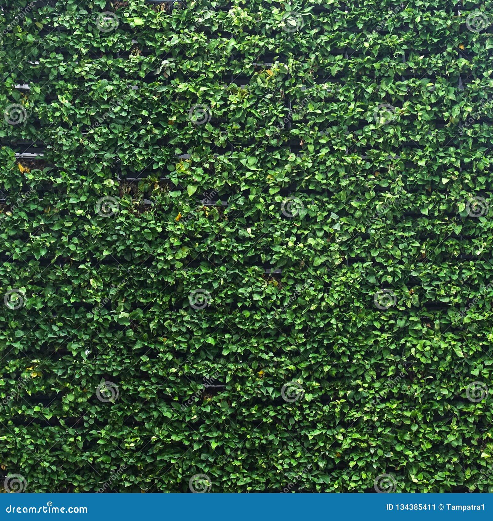 Vertical Garden Lush Green Wall Pattern Surface Texture Close Up Of