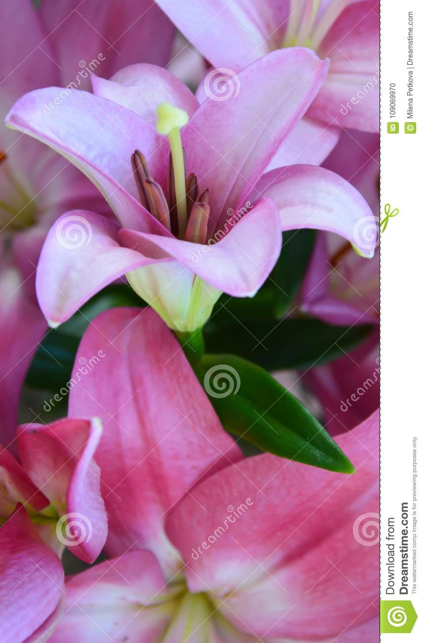 Vertical Picture For Backgrounds With Lily Flower Stock Photo