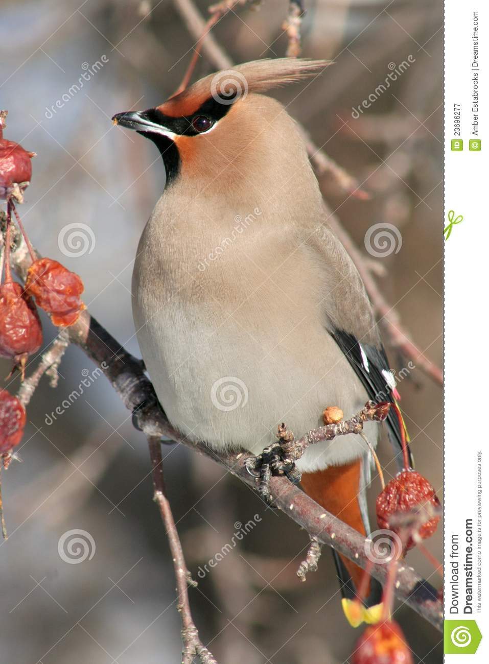 Vertical Portrait Of A Bohemian Waxwing Royalty Free Stock