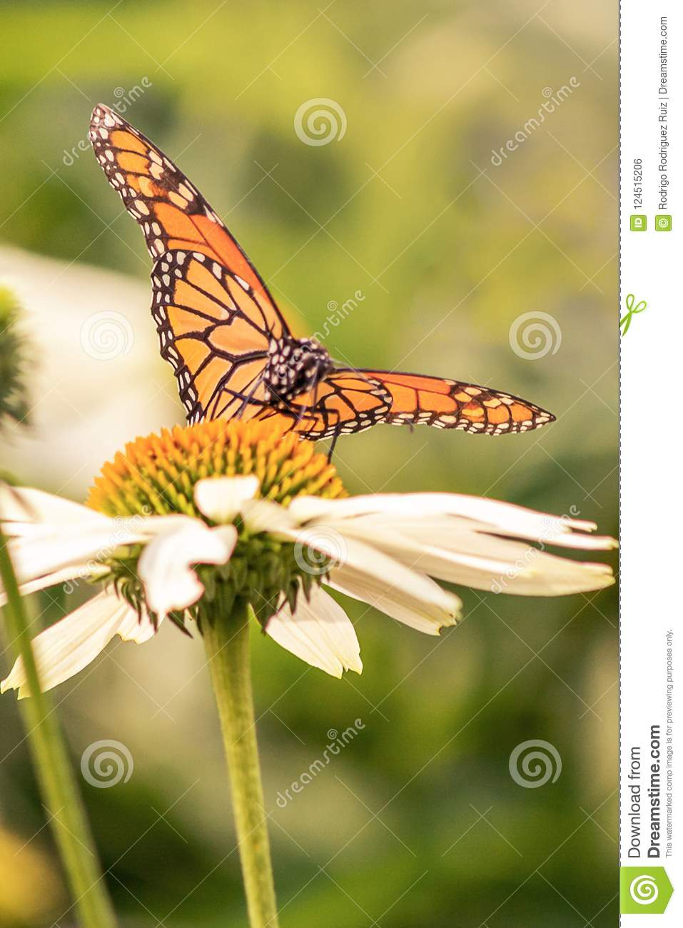 Vertical portrait of a monarch butterfly with open wings