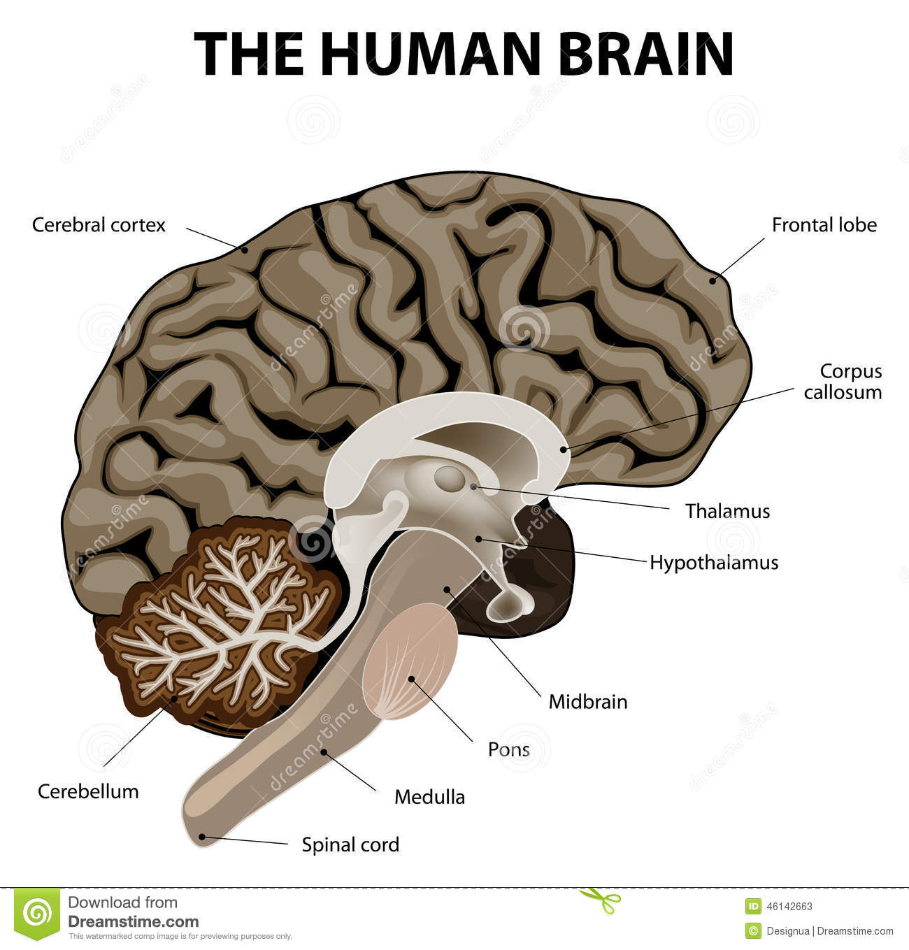 vertical section of a human brain stock vector illustration ofvertical section of a human brain showing the medulla, pons, cerebellum, hypothalamus, thalamus, midbrain