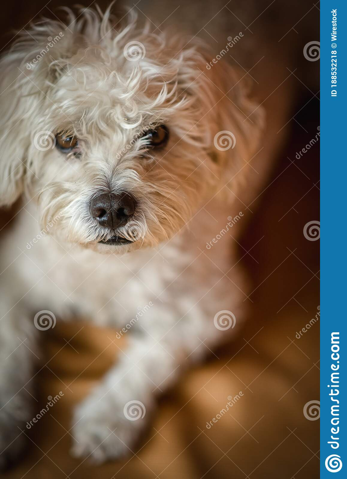 Vertical Shot Of A Cute White Maltese Dog With Brown Eyes Quietly Sitting And Looking At The Camera Stock Photo Image Of Domestic Beautiful 188532218