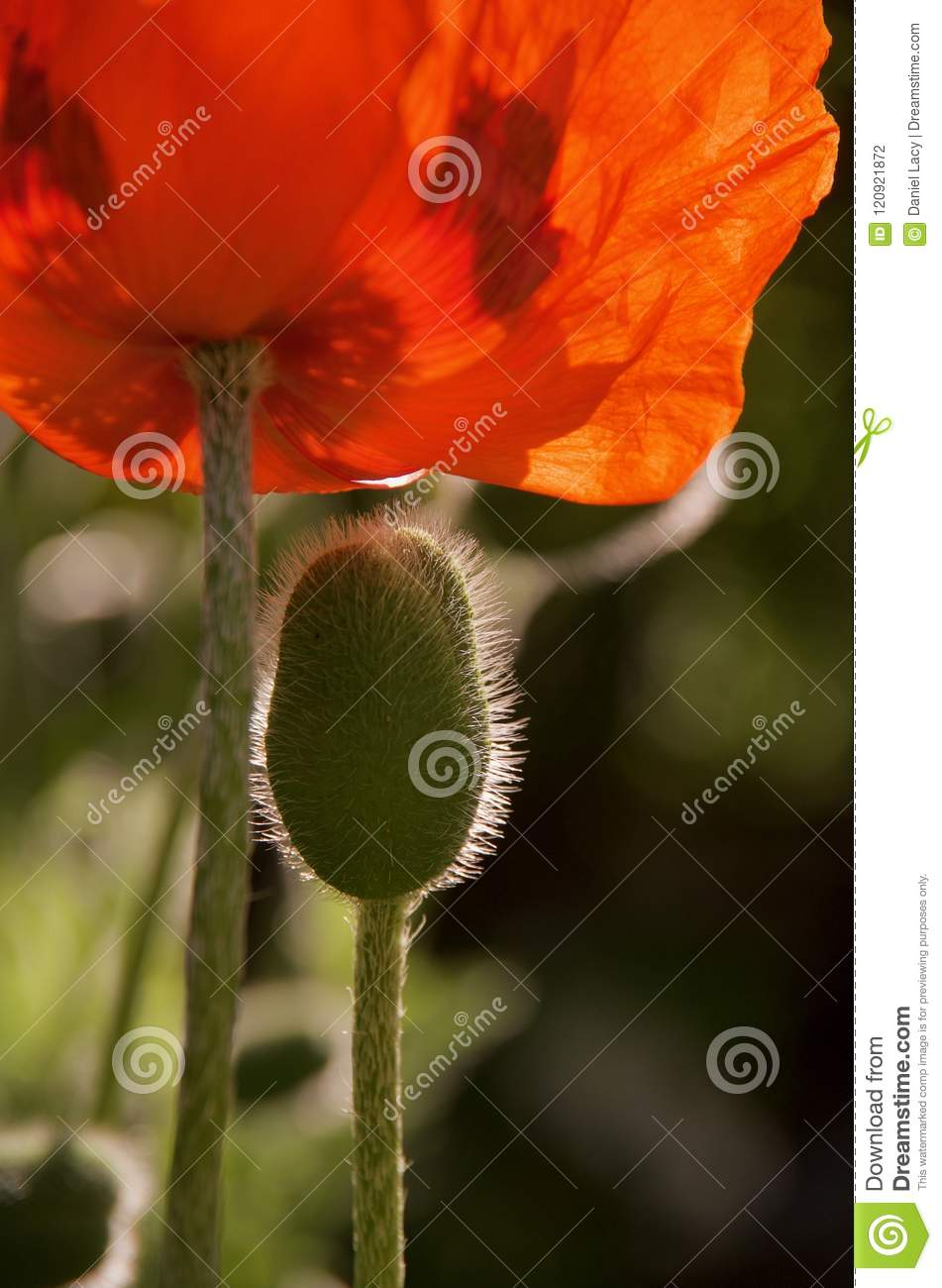 Vertical shot of a hairy bud and crimson flower of an oriental poppy.