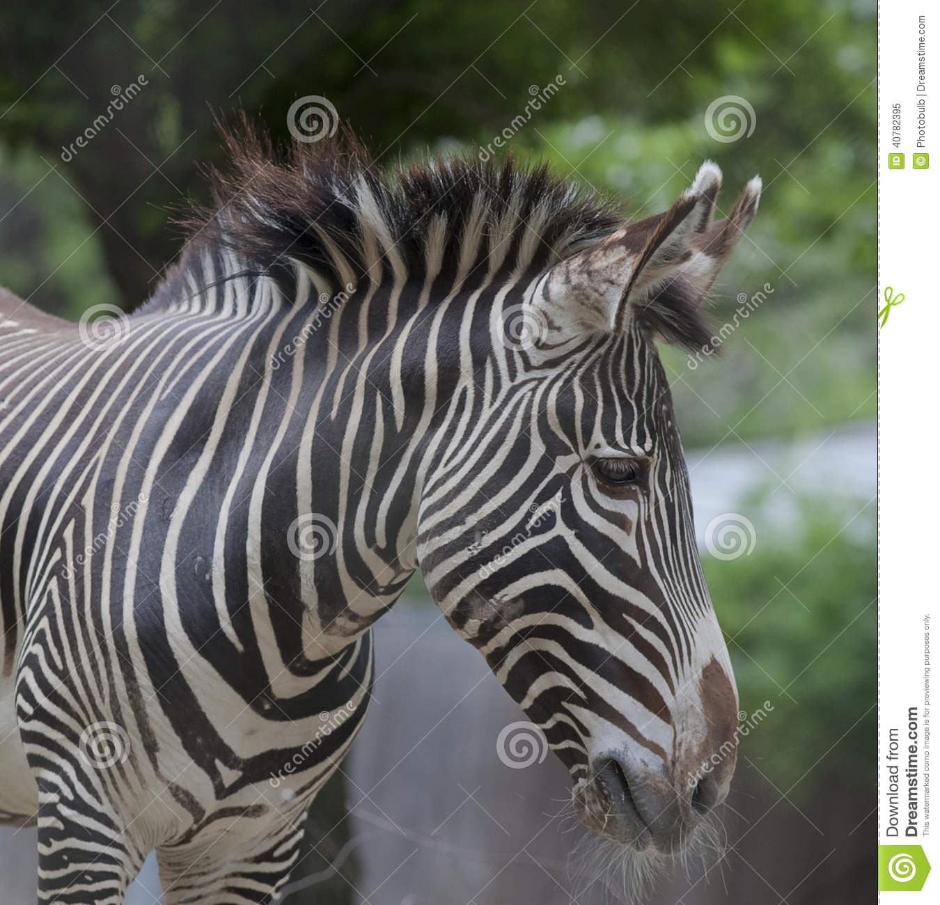 Vertical Stripes of a Zebra at the National Zoo