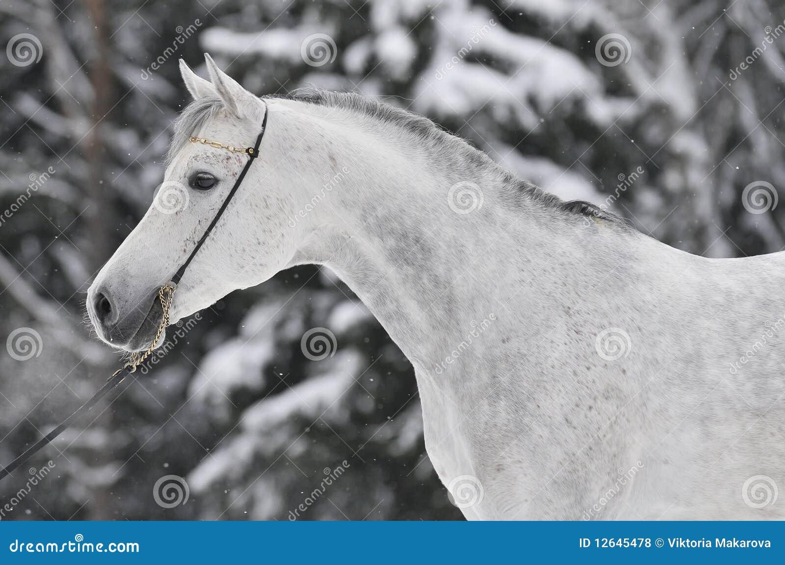 Verticale Arabe blanche en hiver