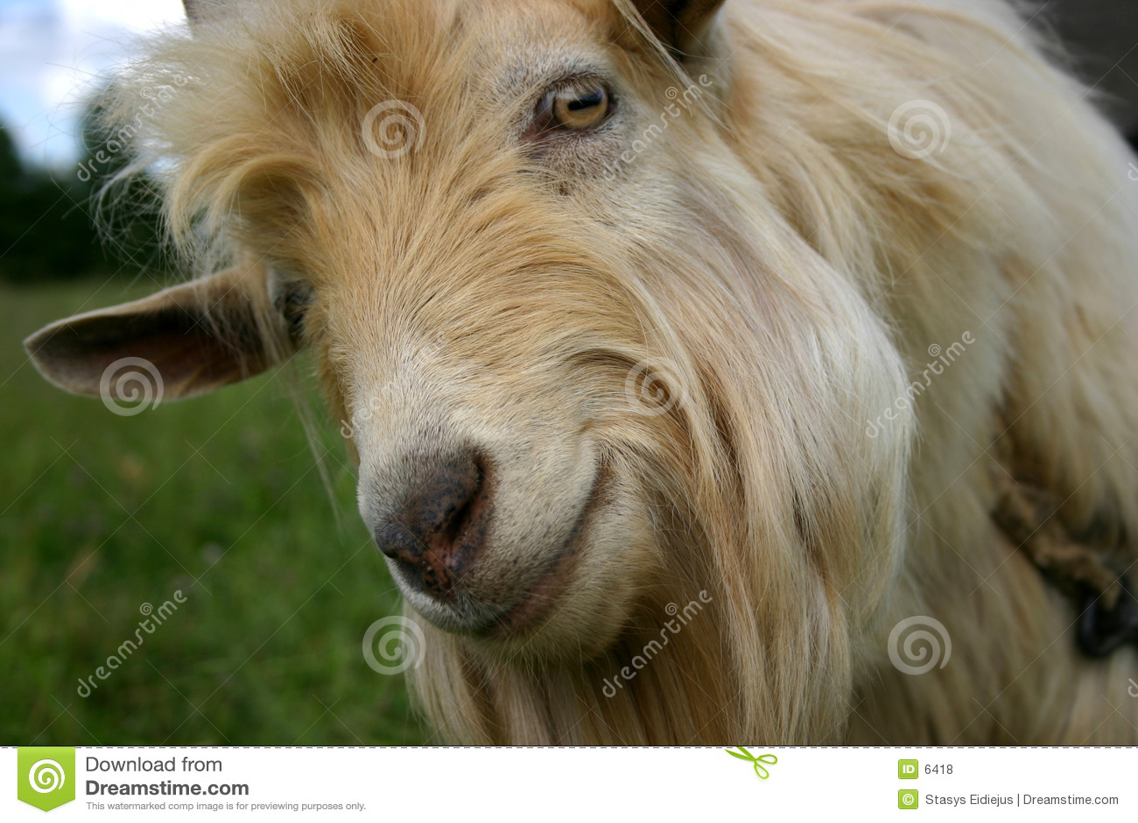 Verticale d une chèvre