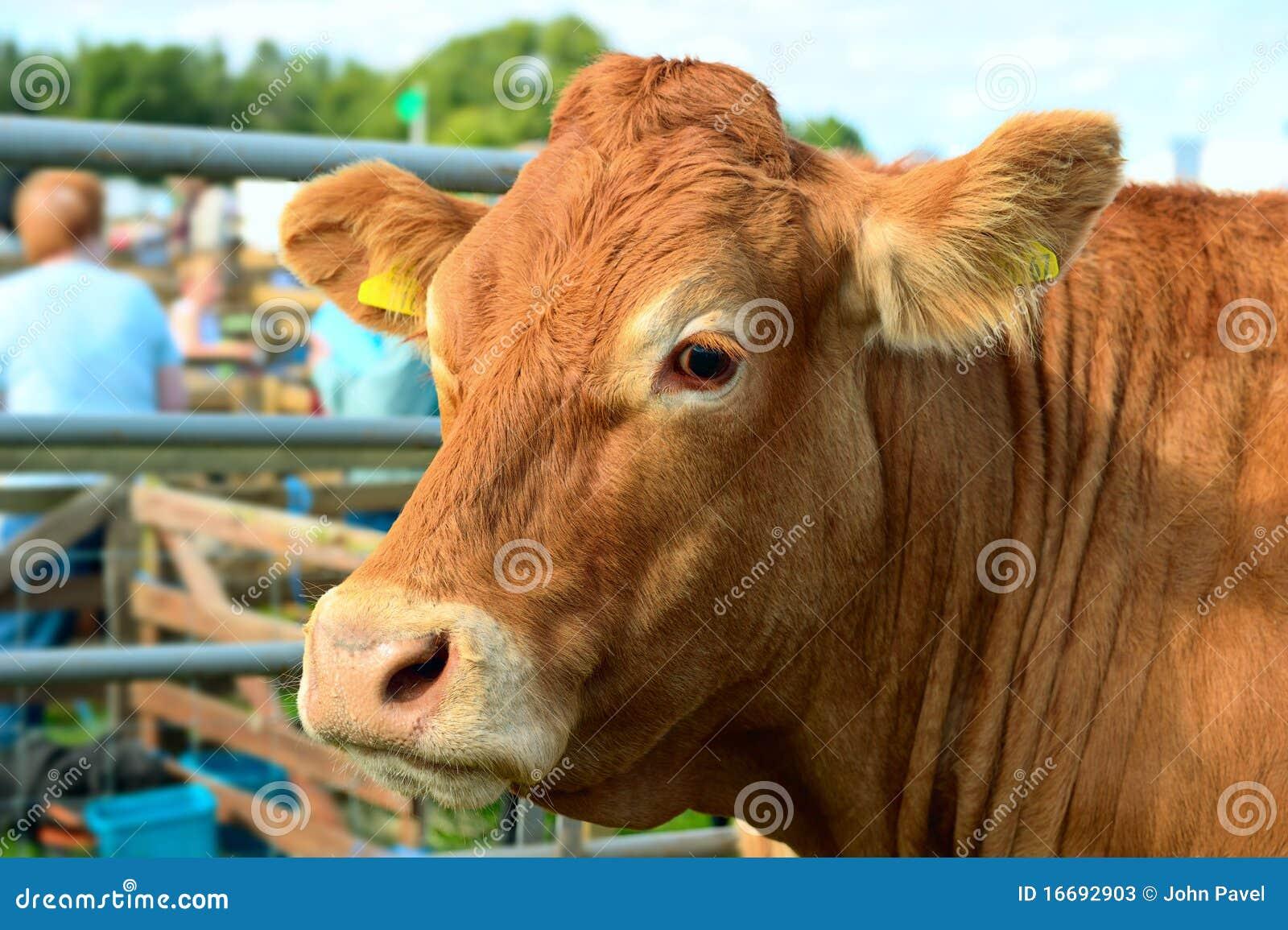 Verticale d une vache brune à une exposition agricole