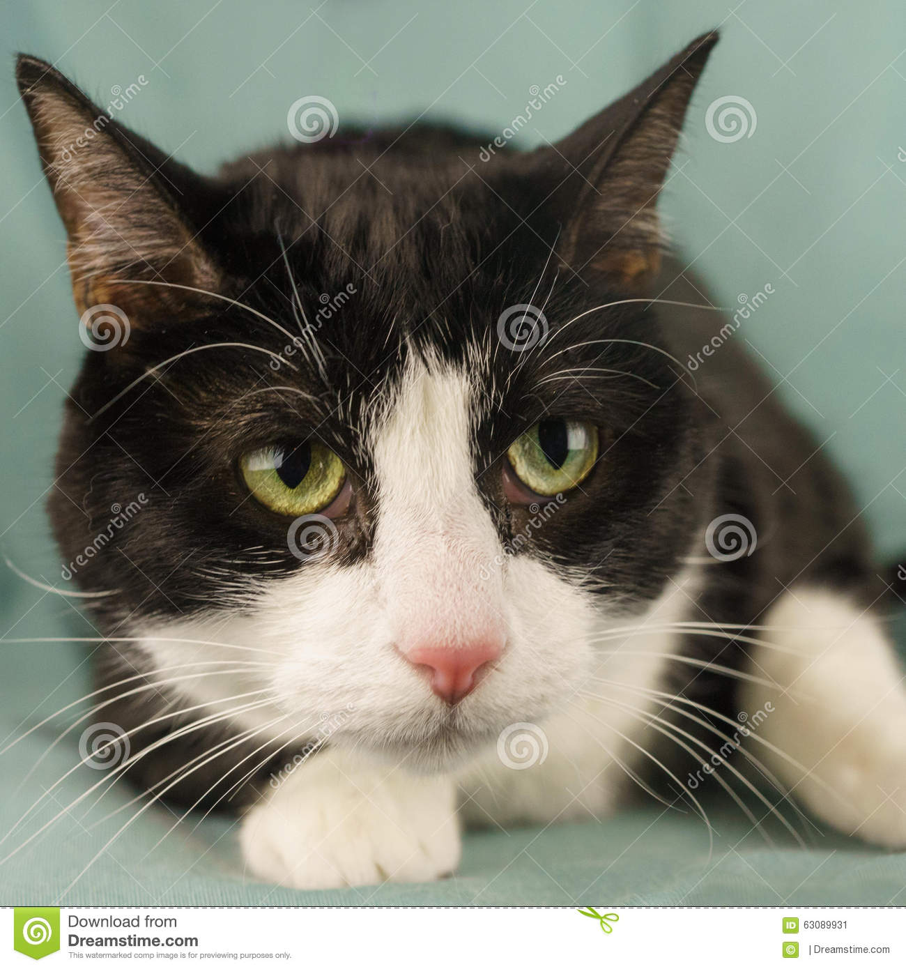 Download Verticale de chat image stock. Image du mignon, jaune - 63089931