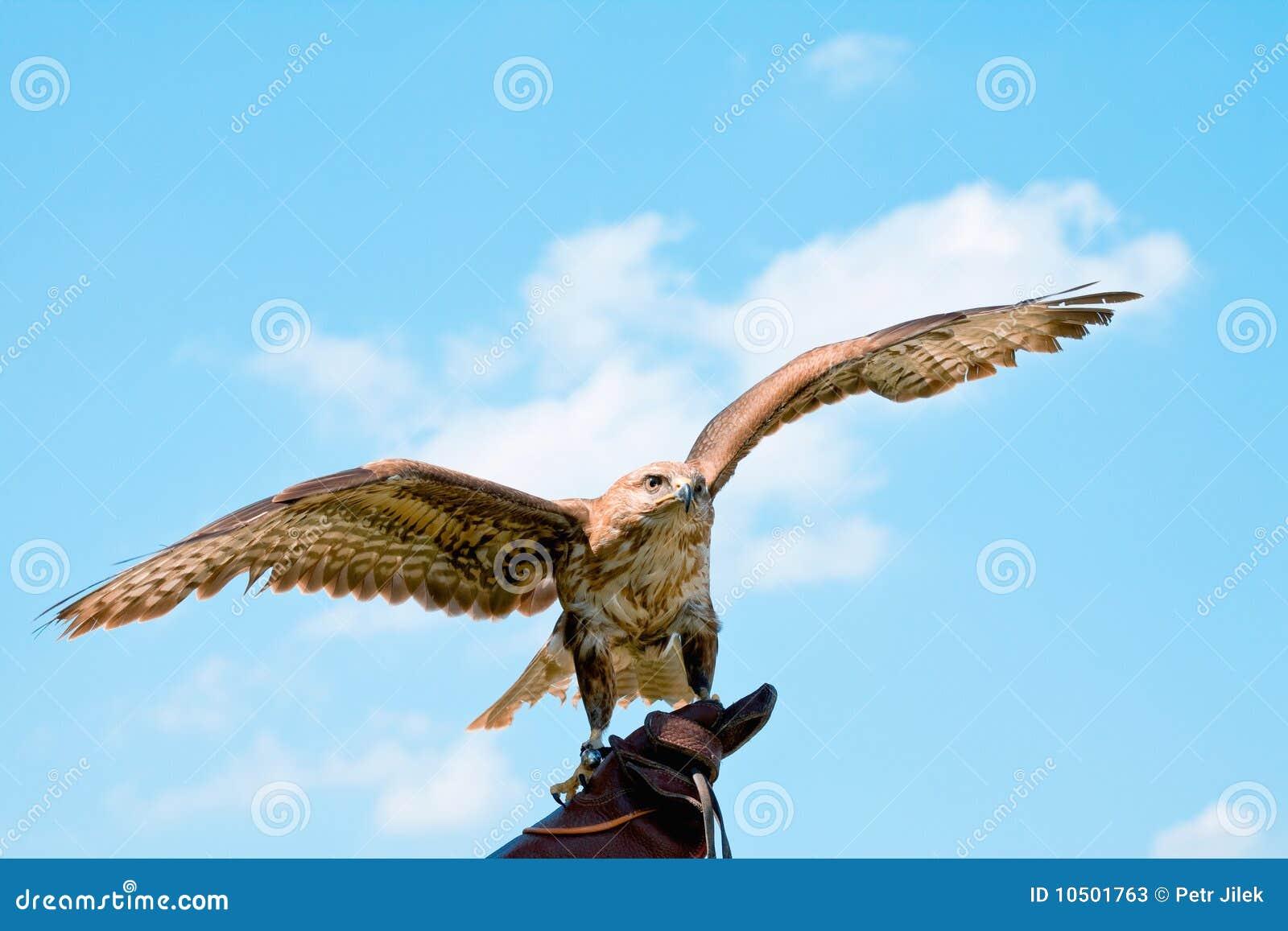 Verticale de faucon