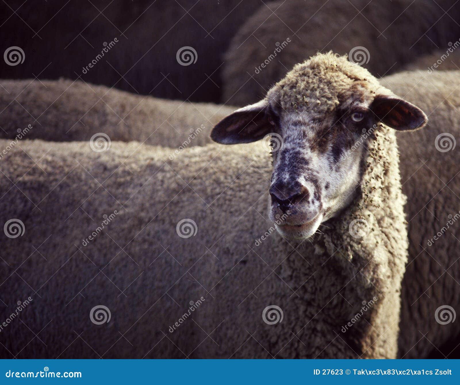 Verticale de moutons