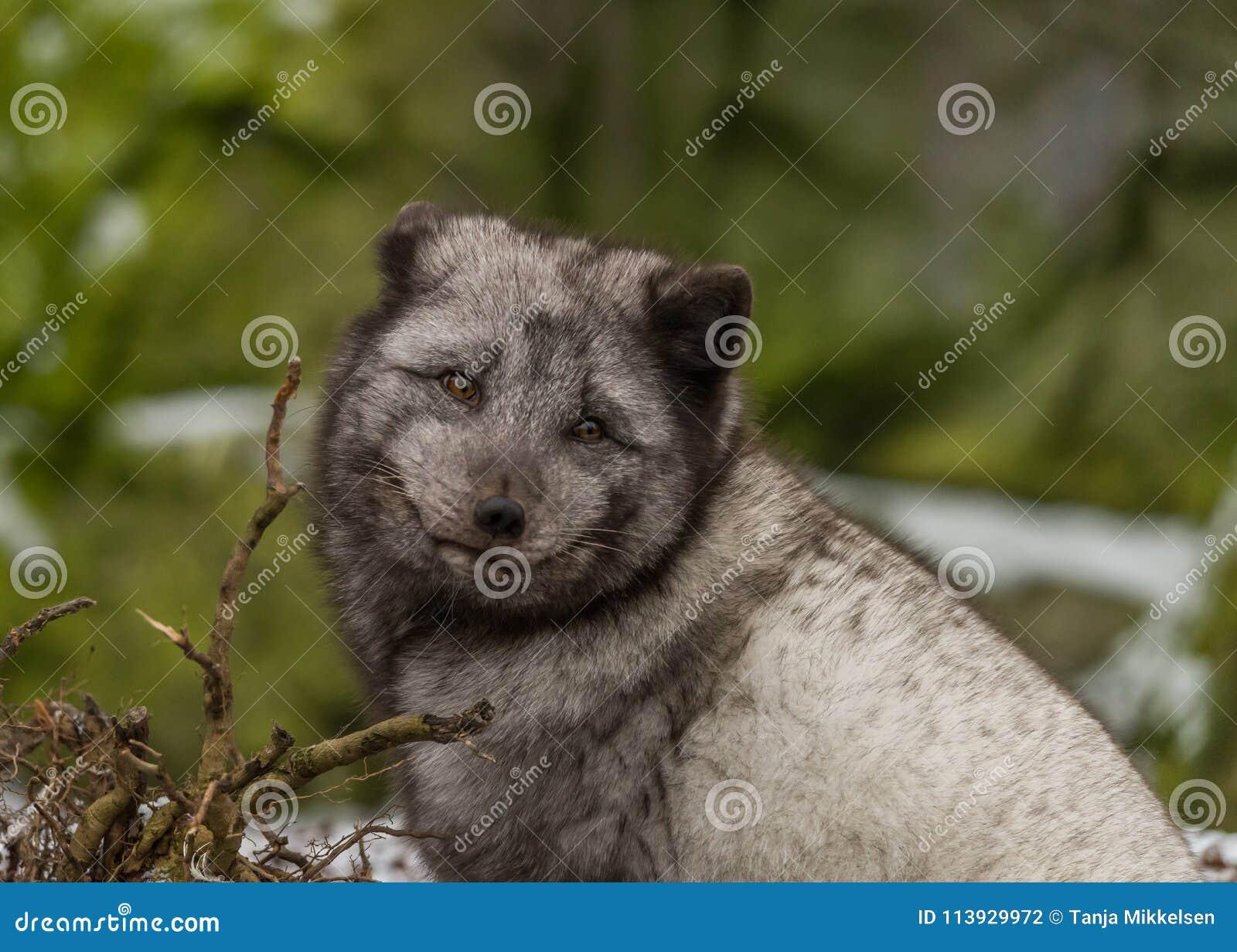 Verticale de renard arctique