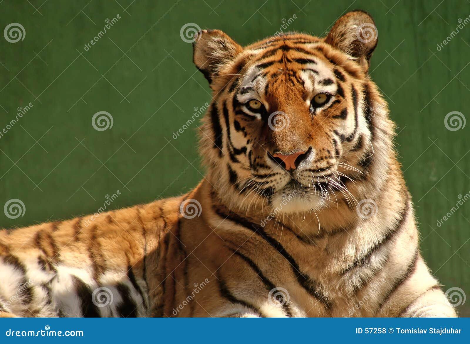 Verticale de tigre
