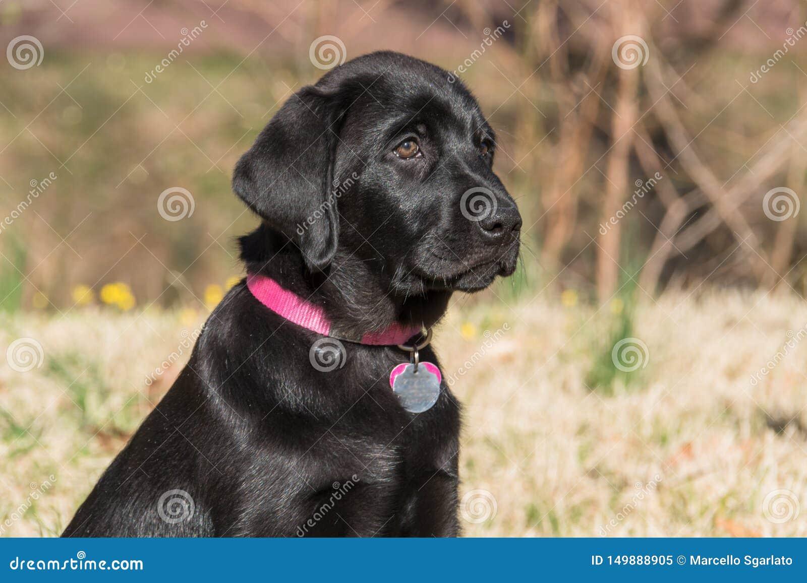 Verticale noire de chiot de Labrador
