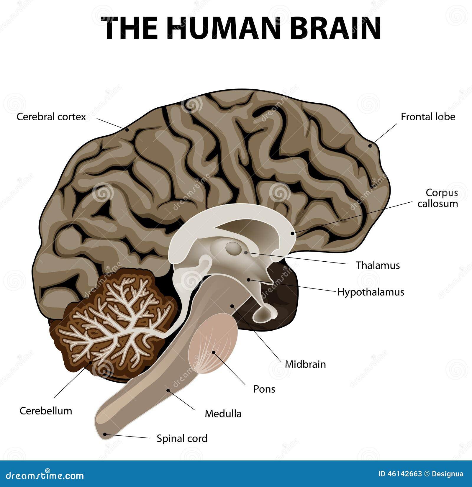 Verticale sectie van menselijke hersenen