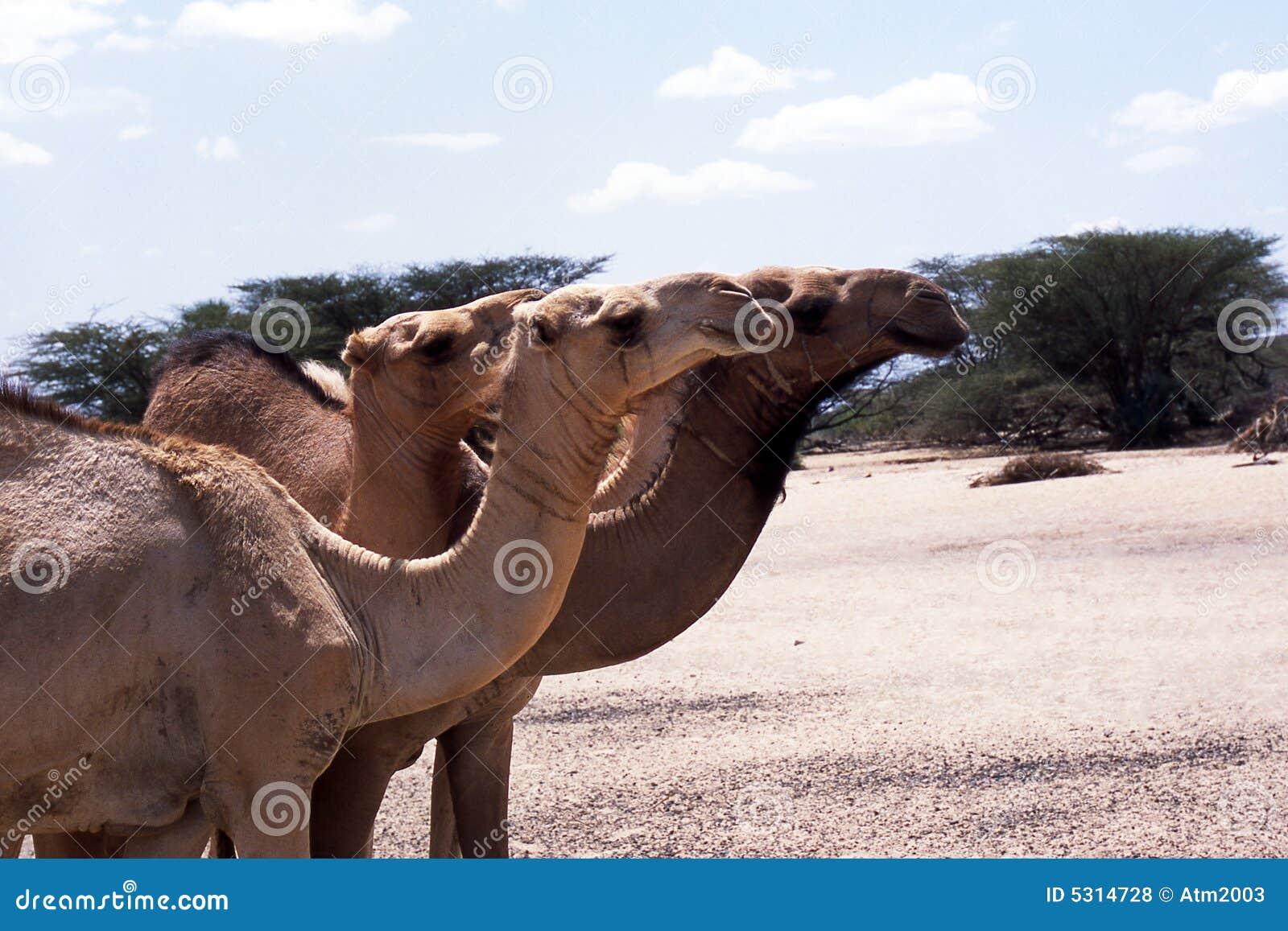 Verticales de chameau