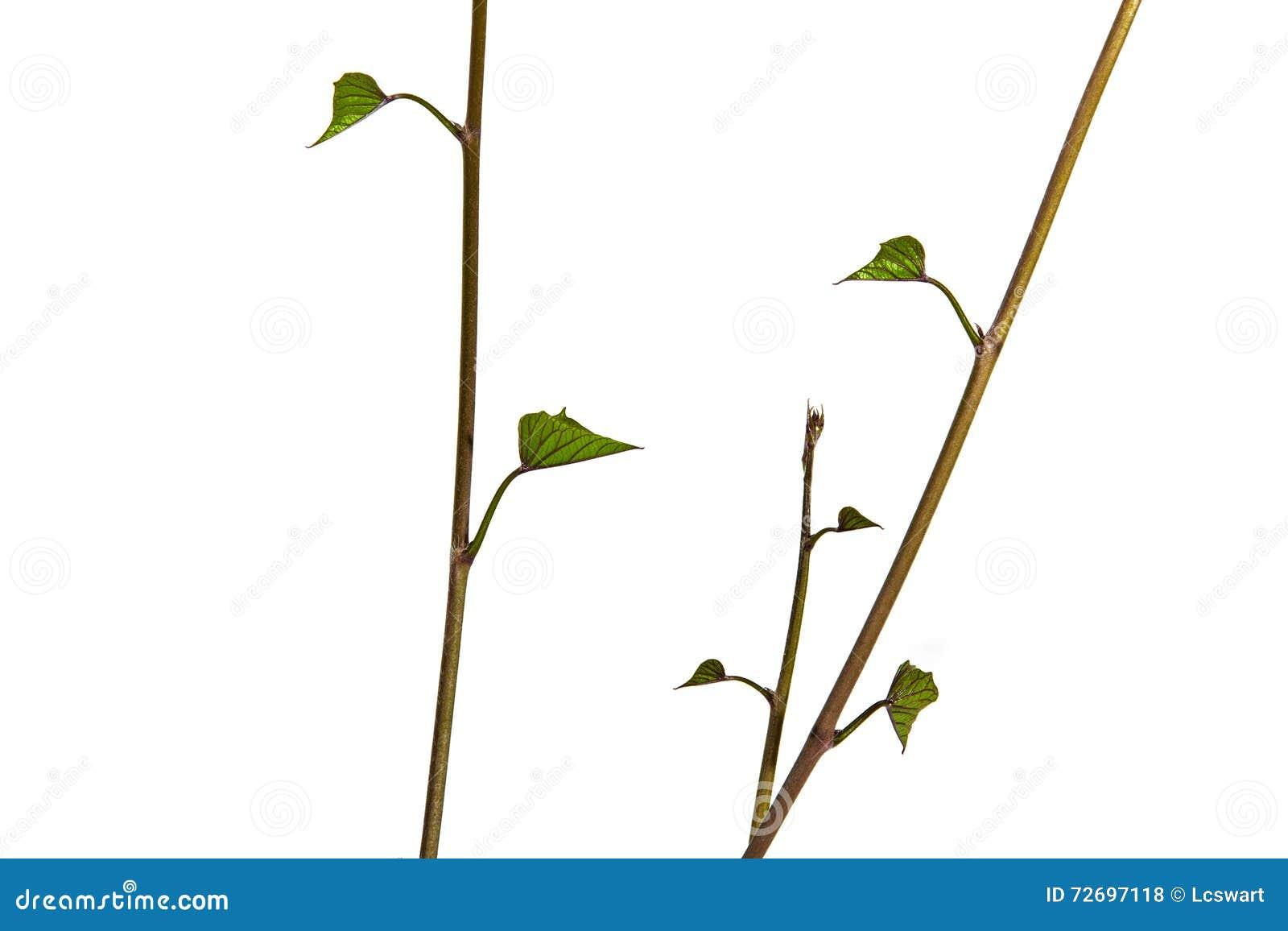 Verticle-Ansicht von jungen Stämmen und von Grün-Blättern