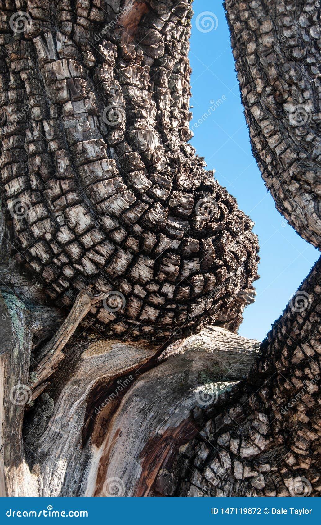 Vertikal detalj av alligatorenträdet som liknar en kvinnas torso