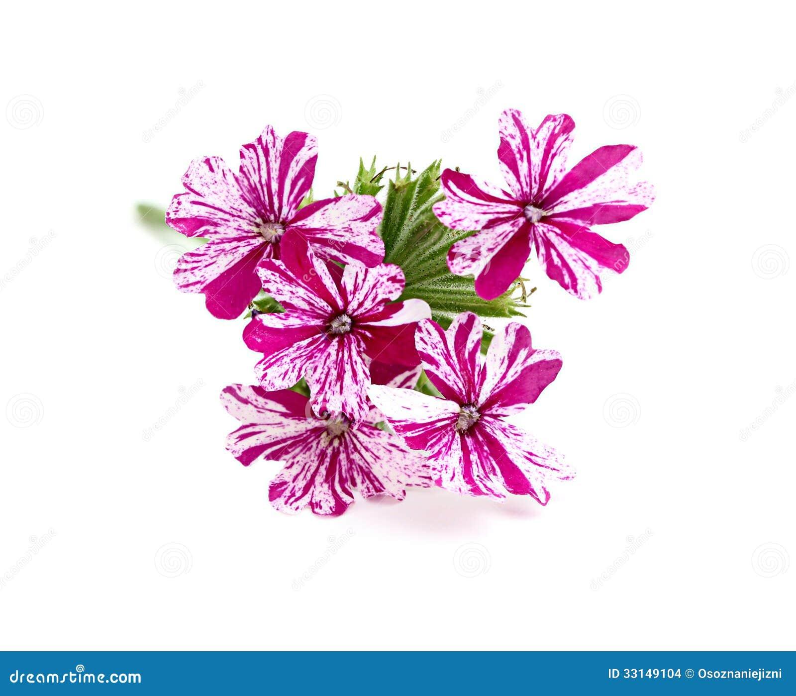 verveine rose de fleur images stock - image: 33149104