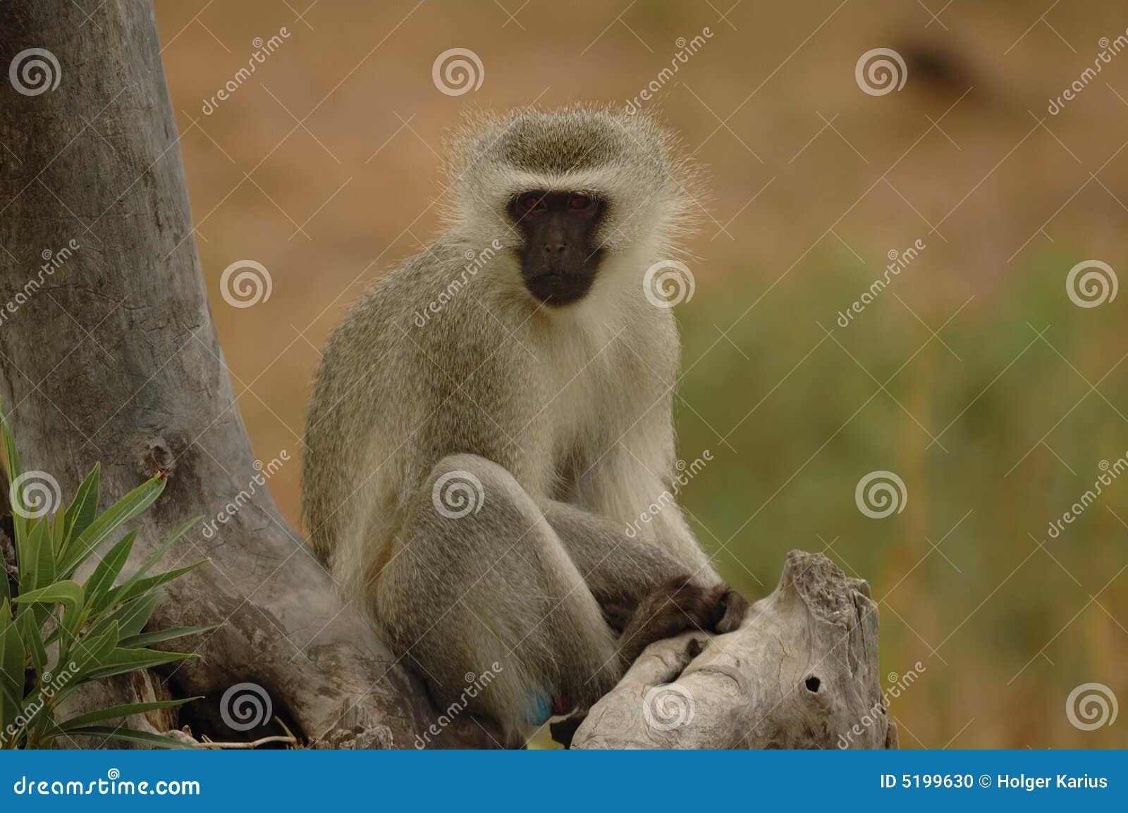 Vervet обезьяны