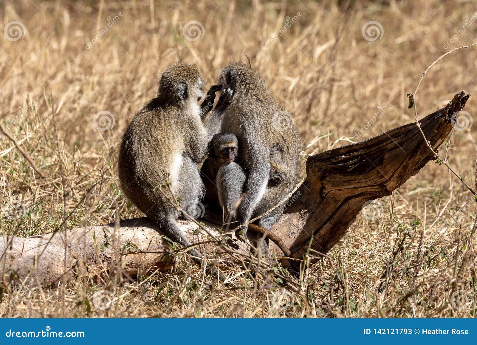 Vervet-Affe, Kenia, Afrika