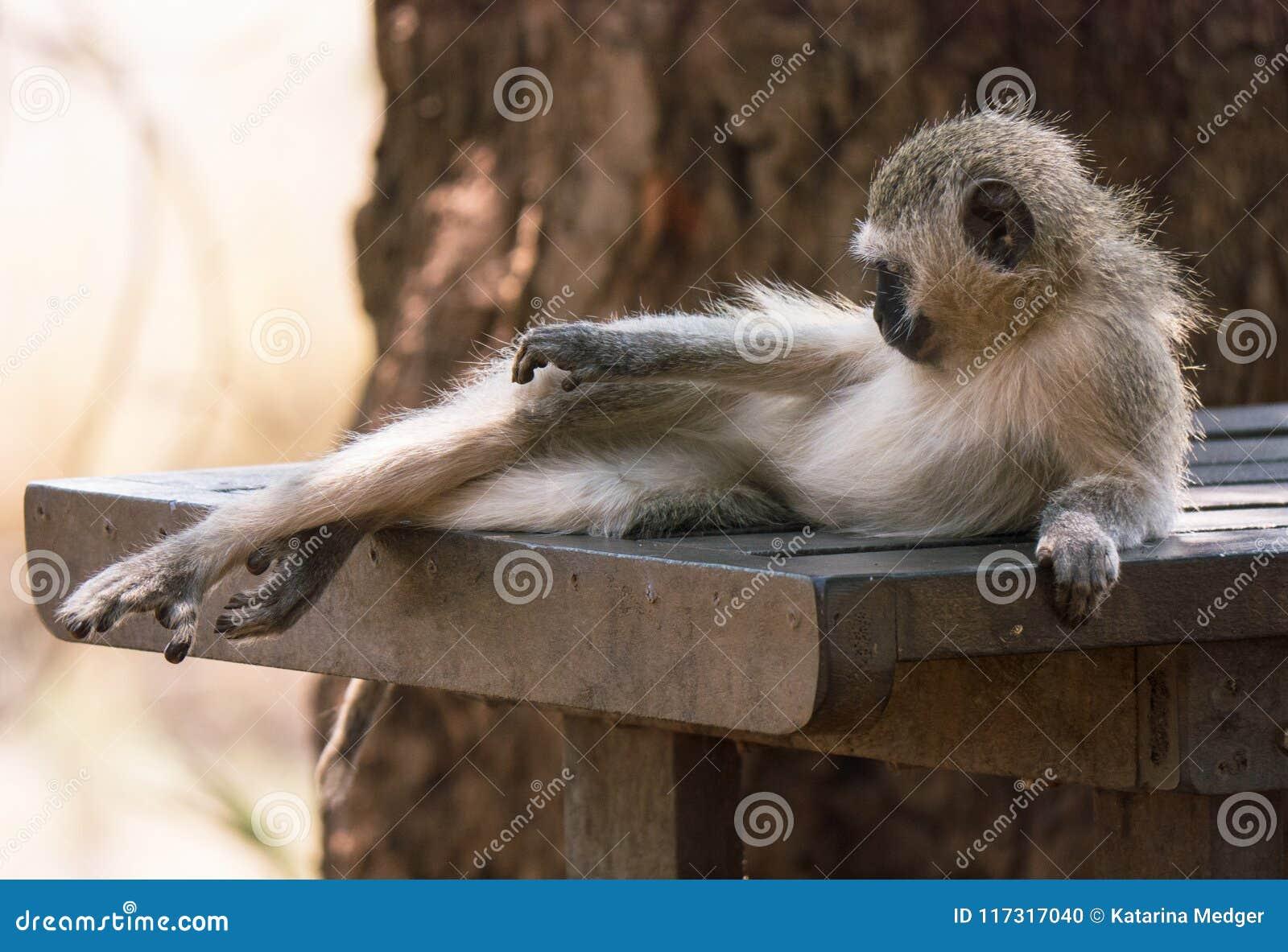 Vervet małpy lying on the beach na stole