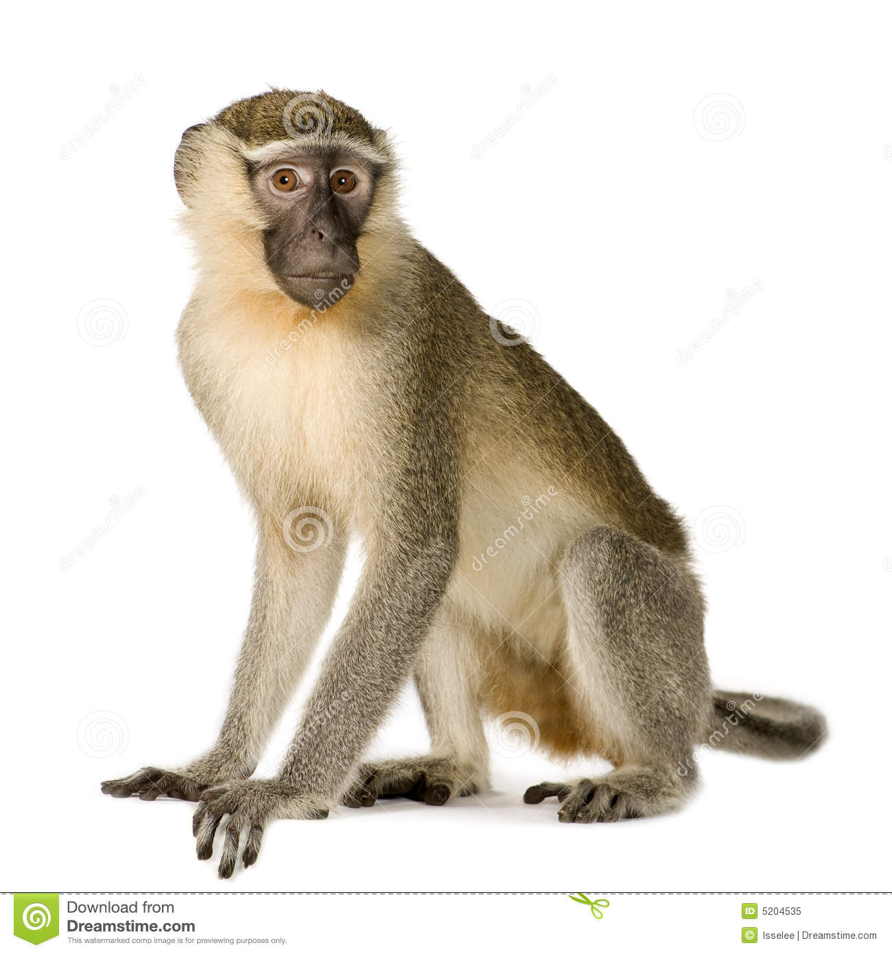 monkey stock photos images pictures 102 363 images