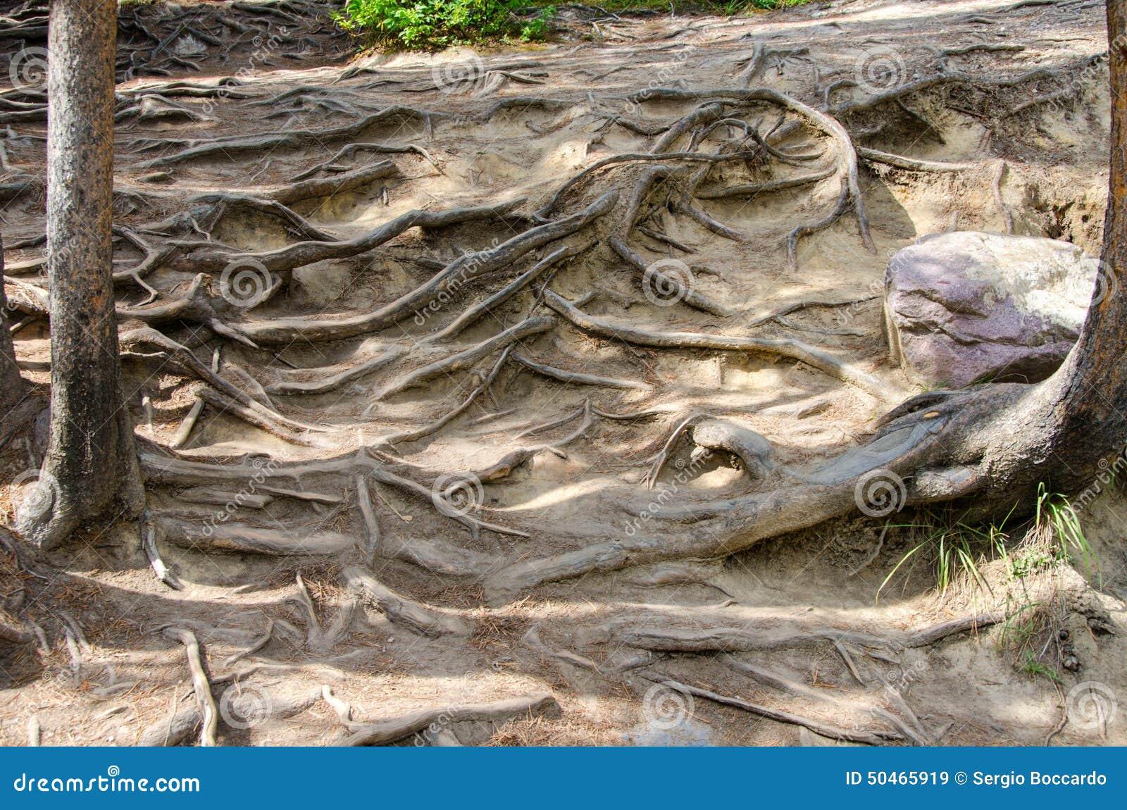 Verwicklung der Wurzeln